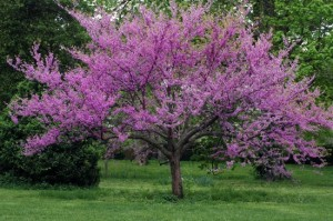 Oklahoma-State-Tree-Redbud